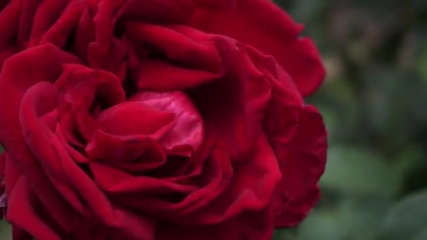 eine große dunkelrote Rose wiegt sich im Wind.