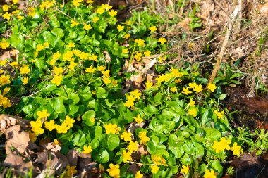 Wild yellow buttercup flowers during springtime in outdoor nature
