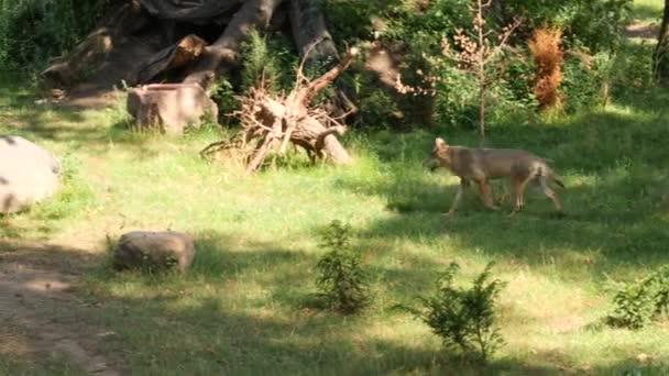 Vad hím vagy nőstény Farkas séta vagy futás-ban erdő tisztel vagy rét zöld fű nyár idő közel-hoz fák