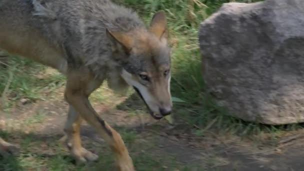 Vad hím vagy nőstény Farkas gyaloglás vagy futás-ban erdő zöld fű nyár idő közel-hoz fák