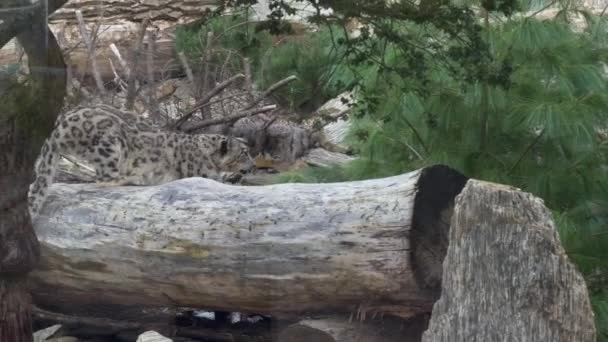 Snow Leopard Panthera uncia karmok élesítése