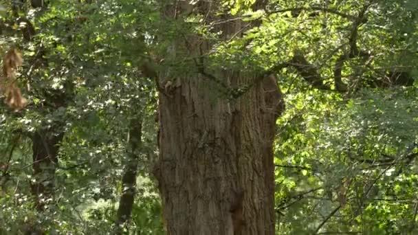 erwachsene Luchse springen auf Baum und versuchen Eichhörnchen im grünen Wald zu fangen