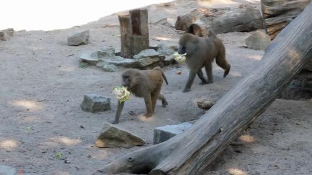 Zwei Affen, die sich vorbereiten zu essen, indem sie Blumenkohl essen