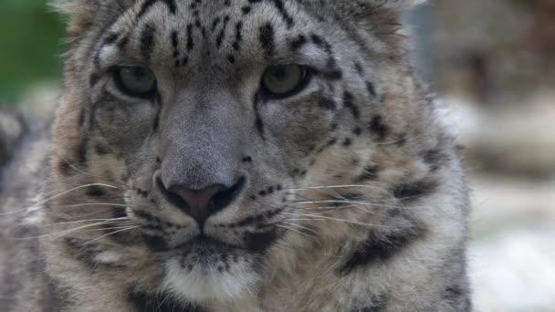 Snow leopard Panthera uncia close up portrait