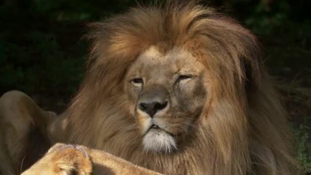 Vyhlídkový zavřít portrét pohled pár lvů relaxačních