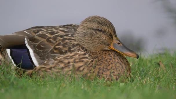 Gyönyörű Wild Duck ül zöld fű Közel up Portré kilátás nézi stright to camera bliking eyes