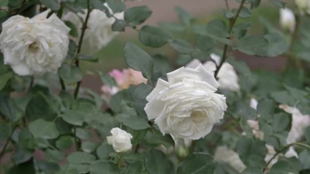 Wild roses different colors with juicy green leaves close up view slow motion moving