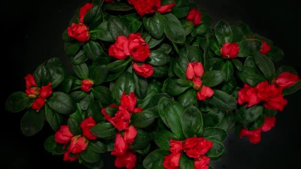 Kvetoucí rododendronové květiny. Zastavit pohyb. Červené květy rododendron černé pozadí.
