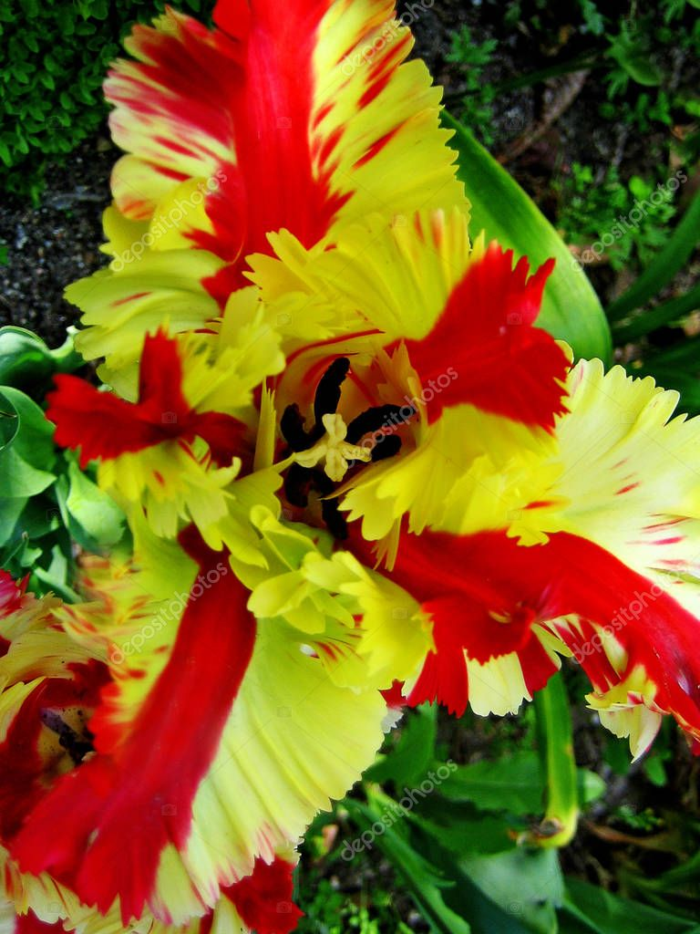 Red and yellow tulip flower macro background wallpaper