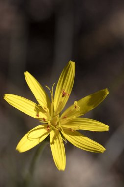 Wild yellow flowers macro Hypochaeris radicata asteraceae fifty