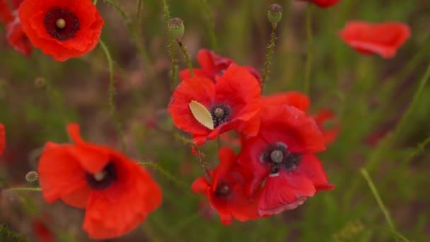 Pole červené barvy mápy květin