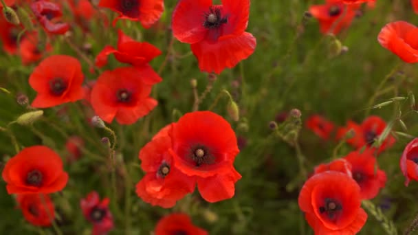 Poppy flowers in the wind close up in the field