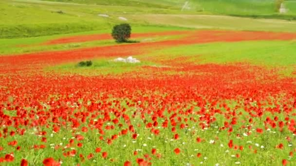 Rich green grass and poppies on the field