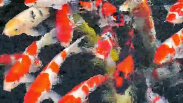 barevný japonský Kapr ve vodě