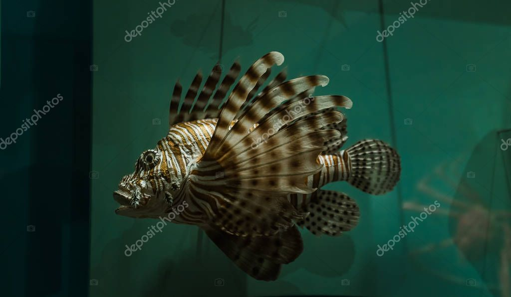 closeup view of lion fish on dark sea water color background