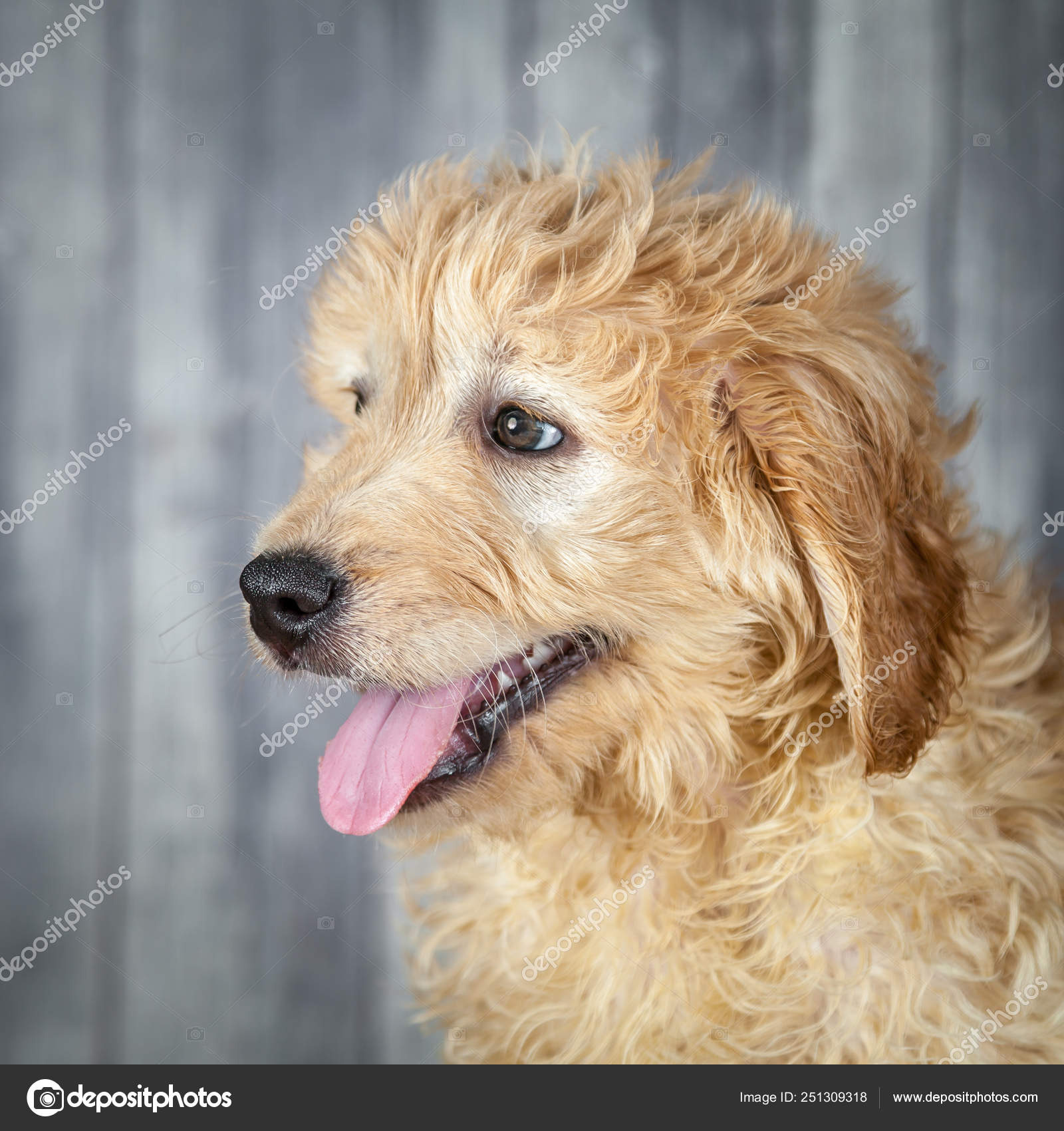 Sweet Adorable Goldendoodle Puppy Stock Photo C 260philip1 251309318