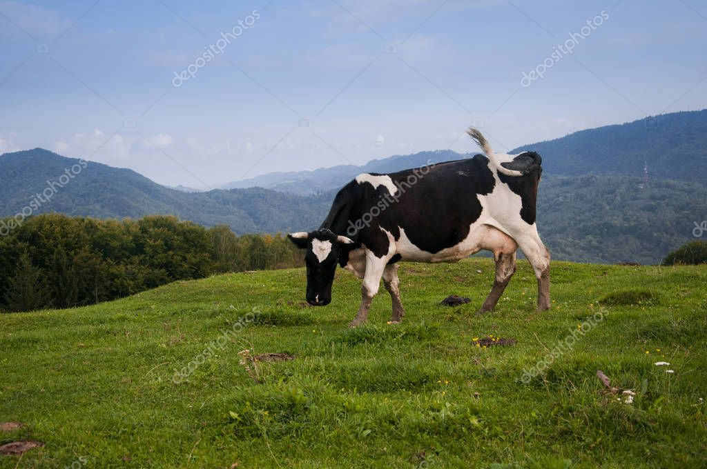 Cow on a meadow in the mountainous area of the Carpathians, Sheshory, Ivano-Frankivsk Oblast, Ukraine