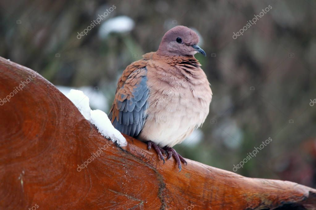 Palmtortel pigeon (Spilopelia senegalensis) comes from Africa south of the Sahara, and from the Middle East from India and China, but sometimes they fly over to Europe. In addition, they now also occur in Spain and Australia