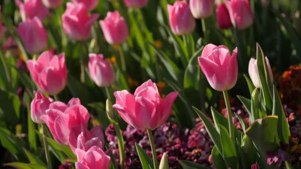 Růžové tulipány na slunci