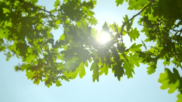 Slunce prosvítající listy dubu