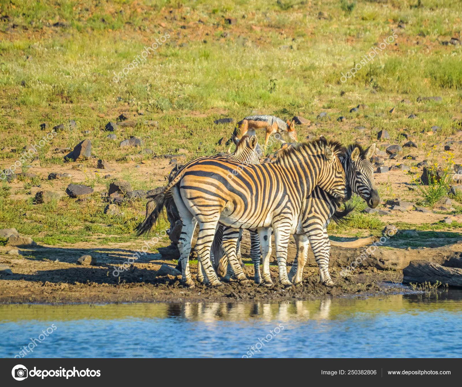 зебра сафари игра