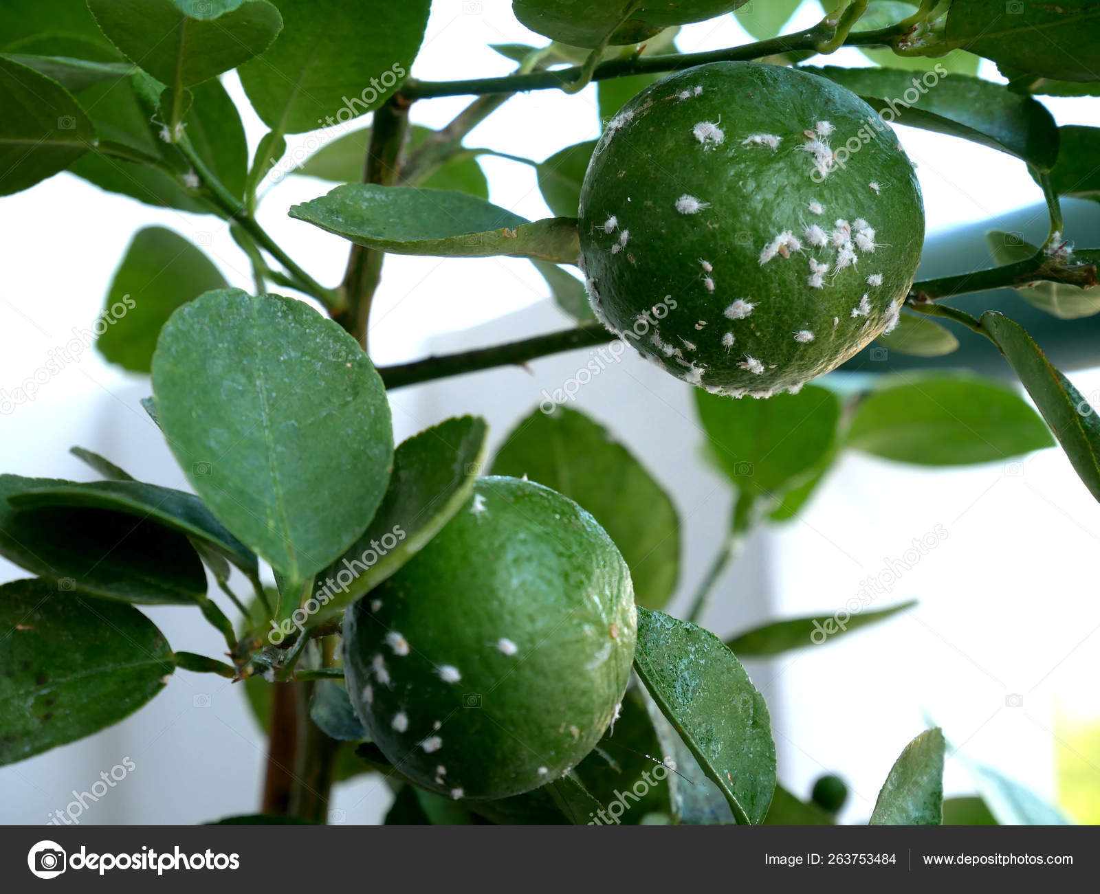 Lemon Tree Bugs Pictures