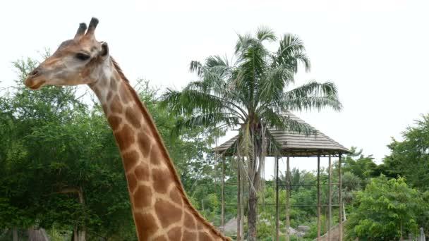 egyetlen zsiráf az állatkert szafari parkban. zsiráf az állatkertben. zsiráf rágás. zsiráf zsiráf csillagkép, fej közelről.