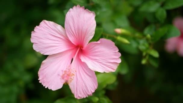 4k rózsaszín Hibiscus Rosa-sinensis a parkban zöld levelek növény a háttérben a szelíd szél. Hibiscus Virág, vagy más nevek, mint a kínai Rózsa, cipő virág, Rózsa Mallow vagy Chaba virá