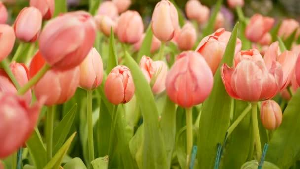 4k. színes tulipán virág mező tavaszi szezonban, rózsaszín tulipán