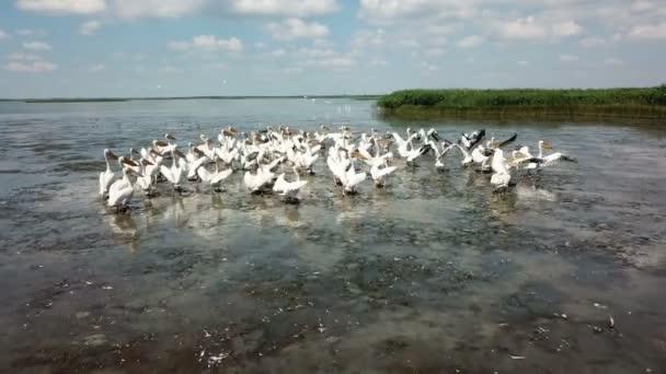 Peličané hnízdí na jezeře, migraci ptáků, let na jihu