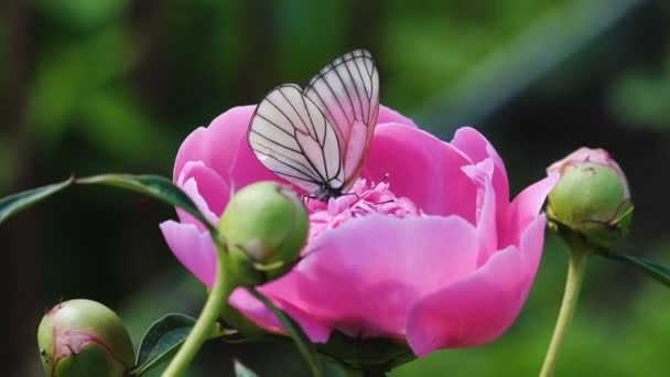Black-veined White butterfly -Aporia crataegi- on pink peony