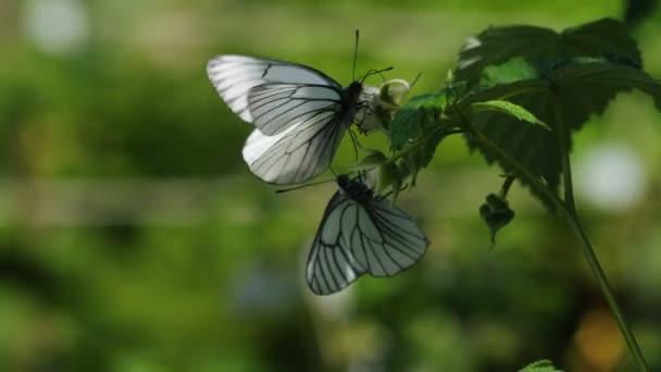 Bílá s černou plísní motýli - Aporia crataegi-na malinový květ