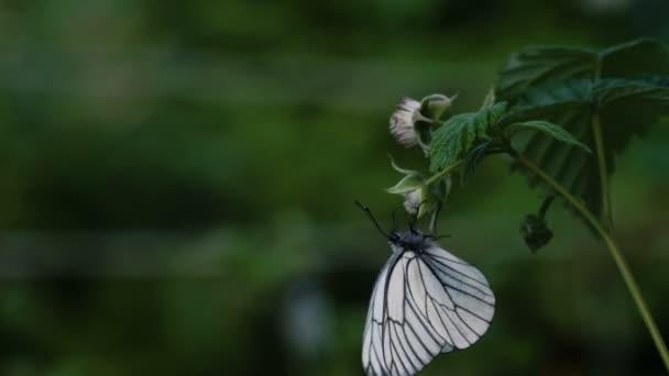 Black-veined White butterfly -Aporia crataegi- on raspberry flower