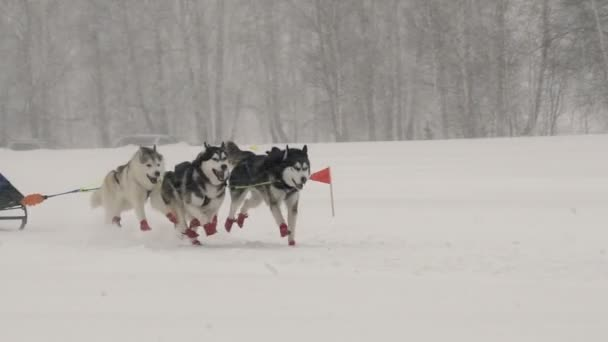 A team of four sled husky dogs participates in a race