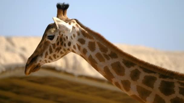Közelkép a gyönyörű zsiráf