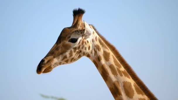 Az afrikai zsiráf közelsége