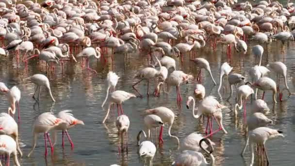 Colony of flamingos on the lake