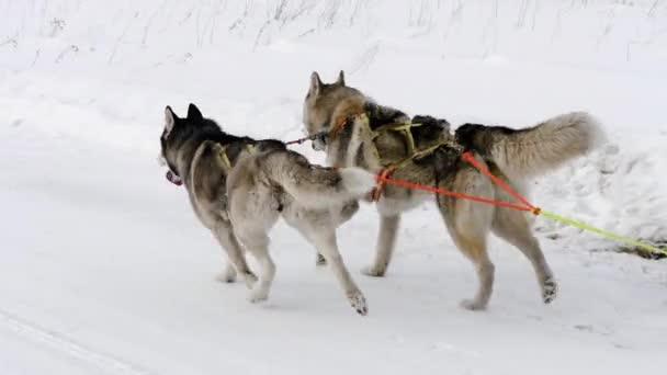 Závodní saně a Husky psi