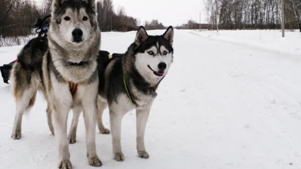 Paar eingespannte Schlittenhunde