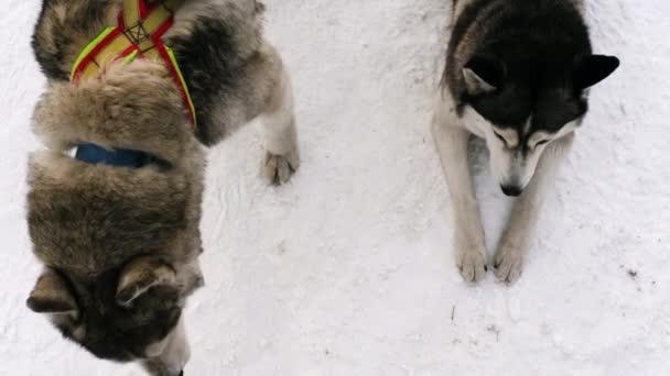 Sáňkovat psi v postroji