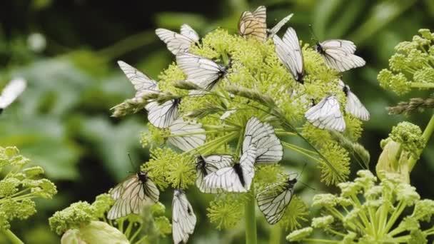 Aporia crataegi, Black Veined White butterflies on the plant