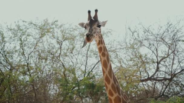 Gyönyörű afrikai zsiráf Rágónyelv