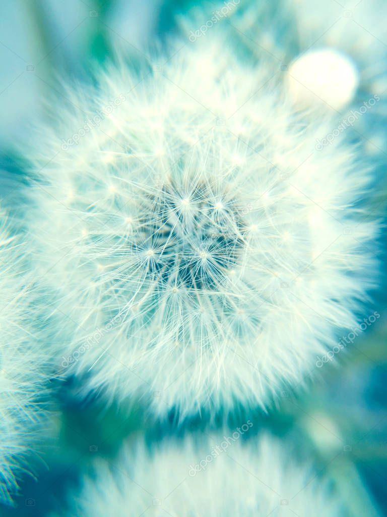 Macro view of a dandelion seed head