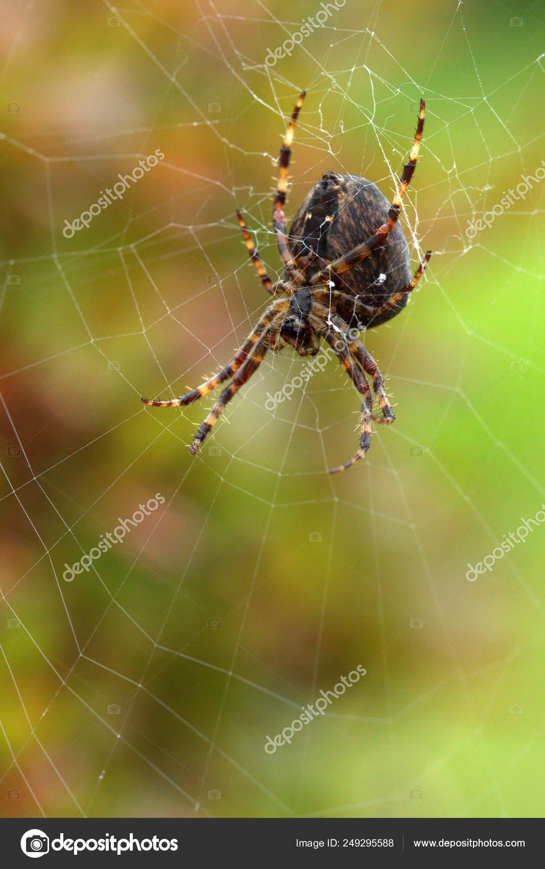 Big Hairy Garden Spider Web Green Mottled Background \u2014 Stock