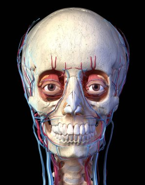 Human skull with eyes, veins and arteries. Front view.