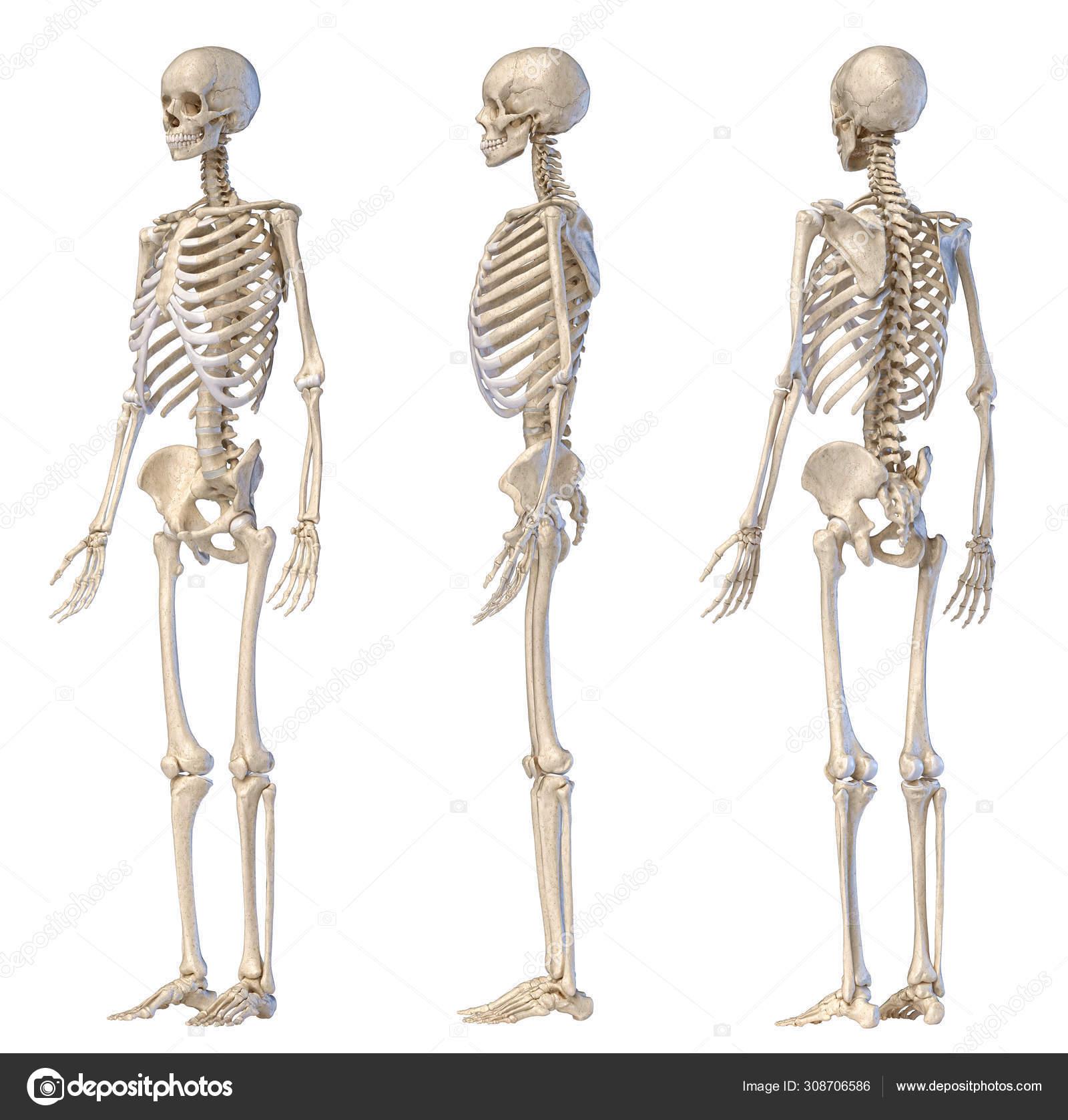 diagram of male skeleton human male skeleton full figure three views     stock photo  human male skeleton full figure three