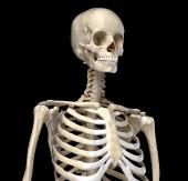 Lidská anatomie, skeletální systém trupu. Pohled zepředu.