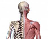 Kostra trupu člověka se svaly, žilami a tepnami. Pohled zezadu