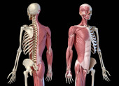 Fotografie Human male anatomy, 3/4 figure muscular and skeletal systems, perspective back and front view.