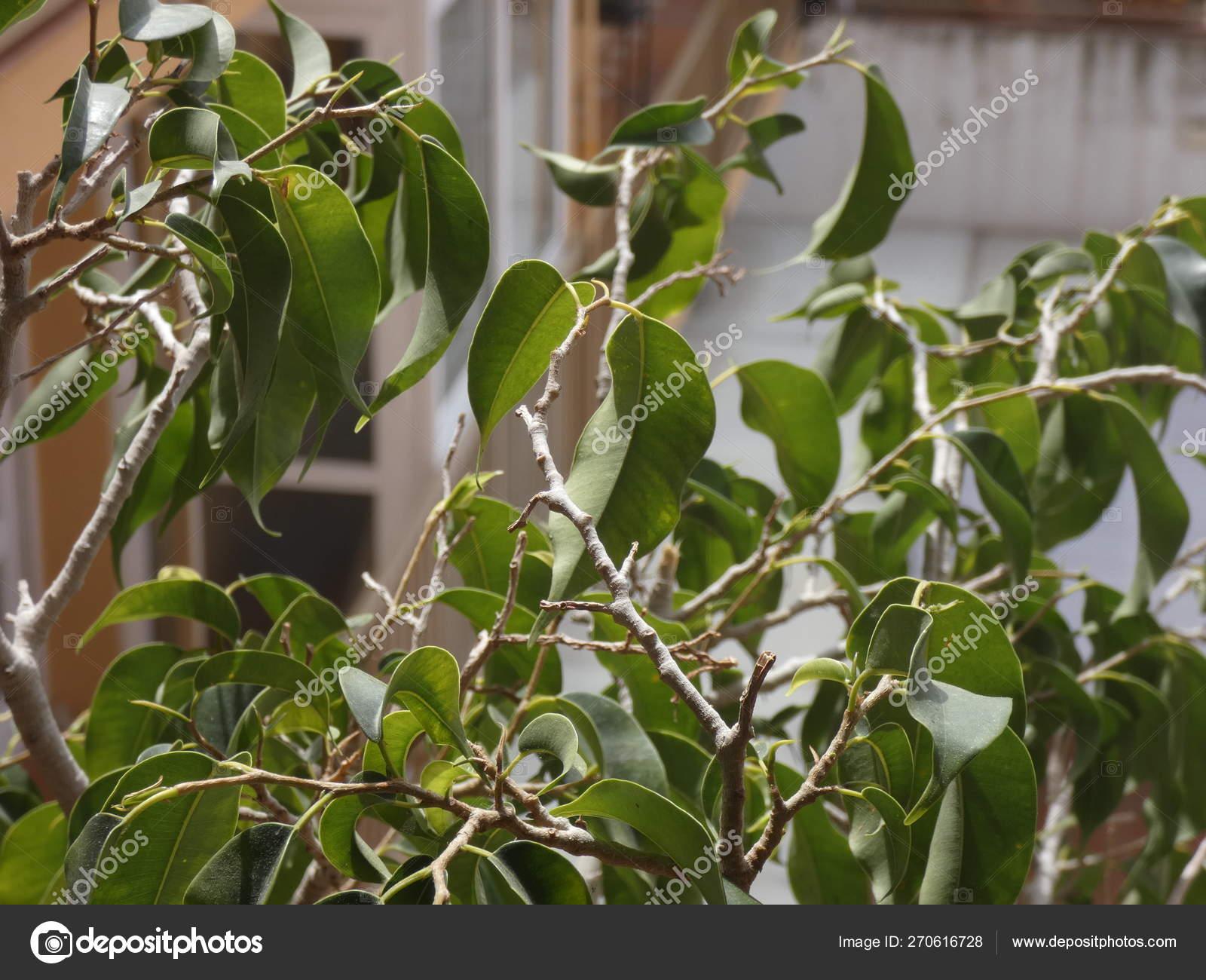 Hojas Pequeño árbol Arbusto Terraza Una Casa Foto De Stock
